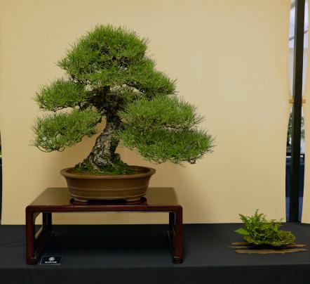 Japanese BK. Pine