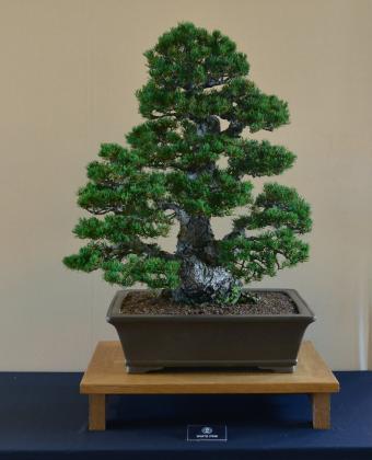 Zuisho Pine